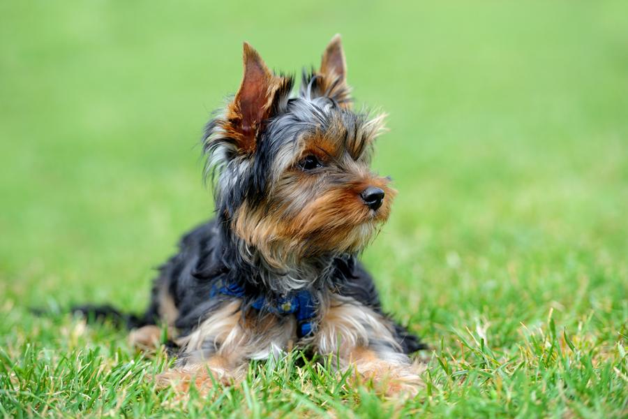 Yorkshire Terrier - Tudo sobre a raça mais alegre e feliz