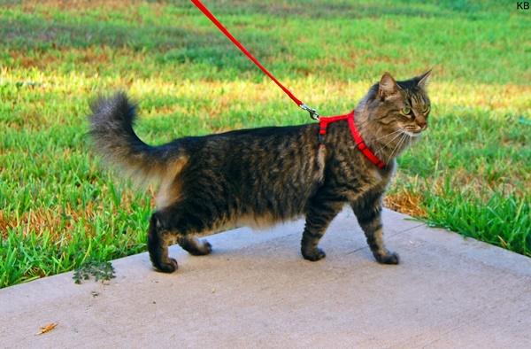 Levar o gato para passear