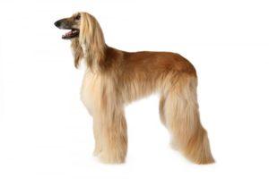 afghan-hound